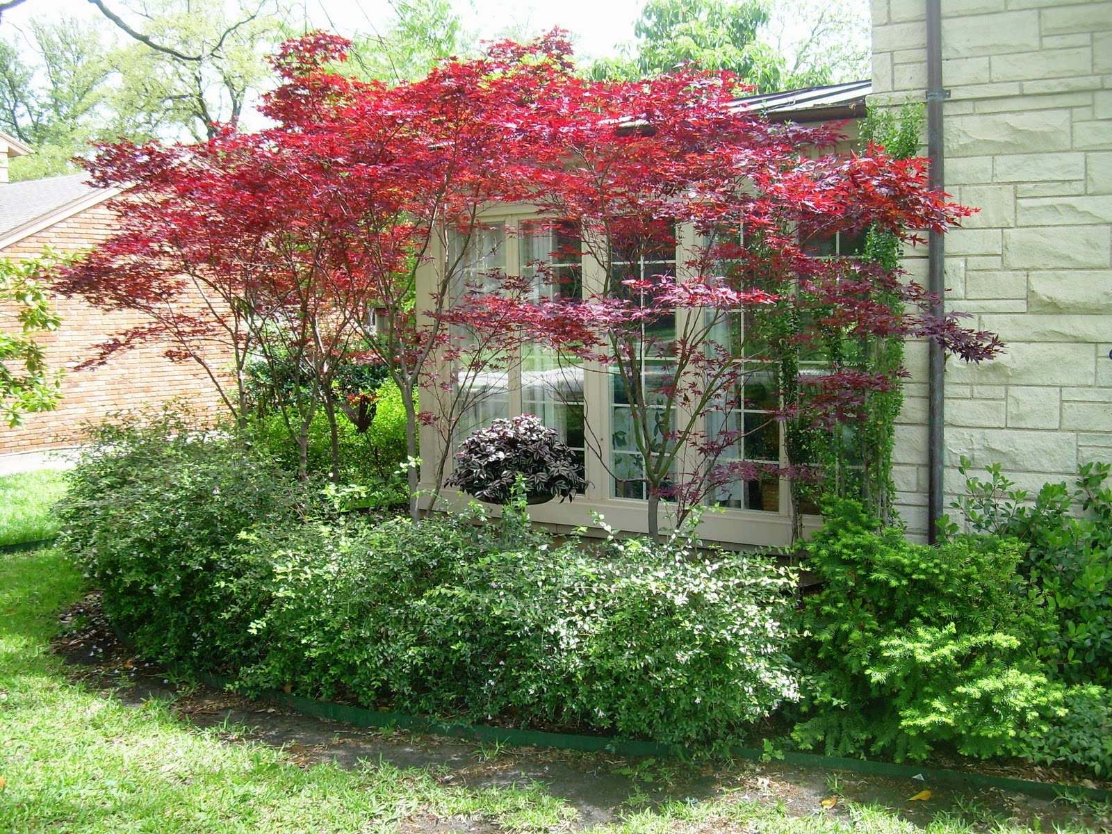 red maple landscaping photo - 2